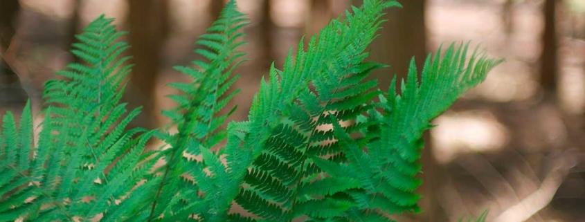 Bild von grünen Farnblättern vor Waldhintergrund