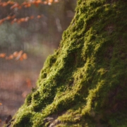 Bild von einem grün bemoosten Baumstamm
